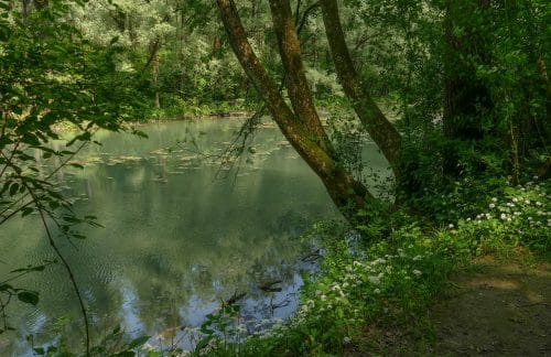 Das Sterben der Stieleiche im Auwald