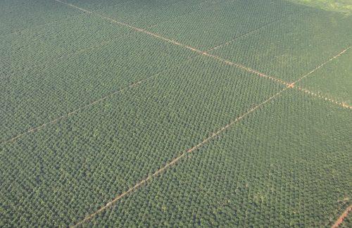 Palmölanbau im Fokus