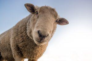 Schafe als Unkrautvernichter im ökologischen Anbau von Weihnachtsbäumen, Quelle: skitterphoto/pixabay