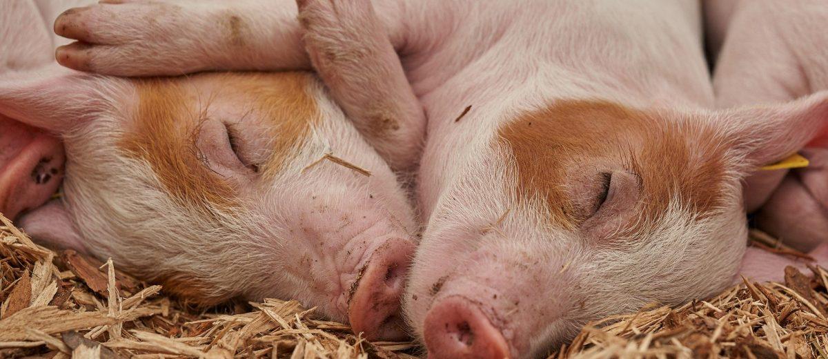 glueckliche-schweine-tierwohlfeundliche-landwirtschaft-kritischer-agrarbericht-oeko-institut
