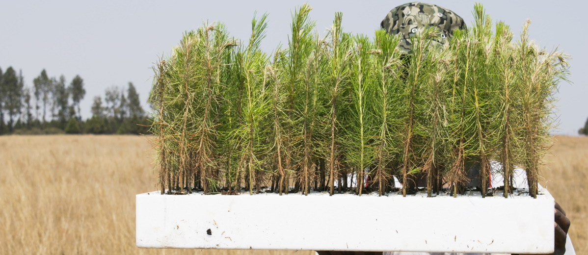 Aufforstung hilft bei der Kompensation von CO2, Quelle: Plainpicture